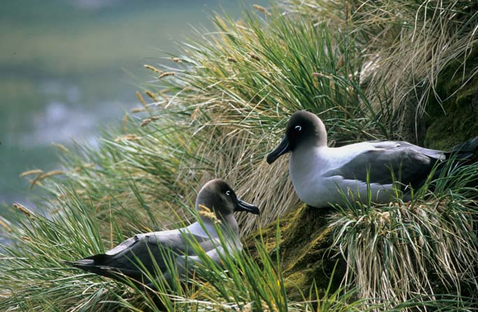 Light Mantled Sooty Albatross